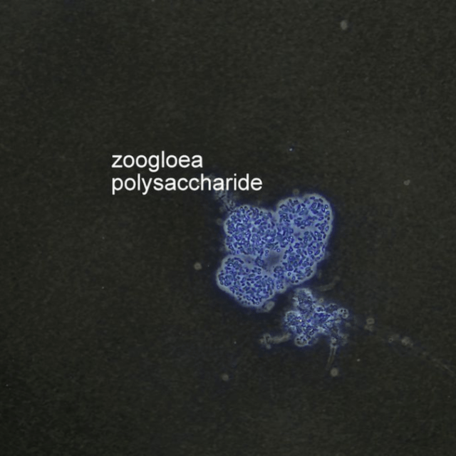 Zoogloea Polysaccharide Microbe