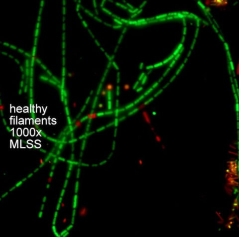 Healthy Filaments 1000 times MLSS